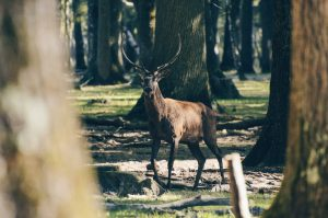 Forêt Domaniale de Rambouillet,_Rambouillet - Cerf