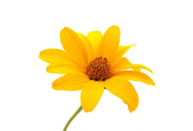 Fleur jaune Tour de France